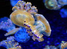 mediterranean-jellyfish