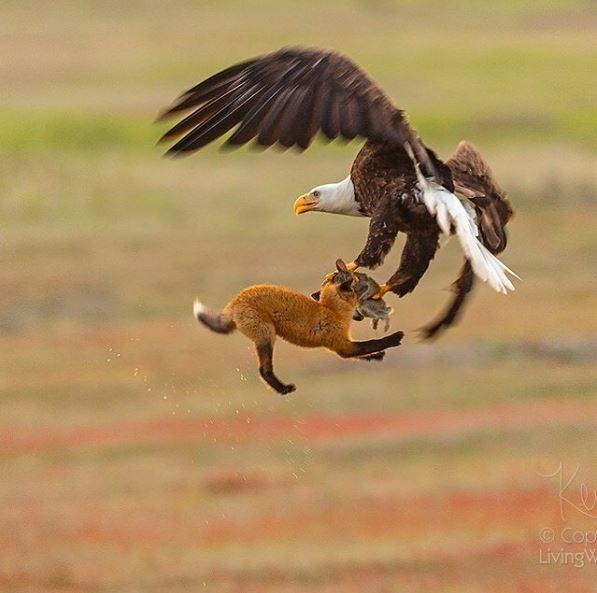 vultur vulpe iepure